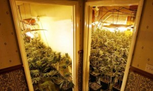 Cannabis Farms In Rented Property - RLA Advice