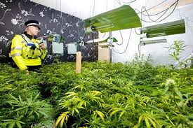 Over 450,000 Cannabis Plants Seized By Police In 2014